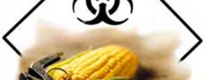Wikileaks – GMO háború: az amerikaiak már a kukoricásban vannak