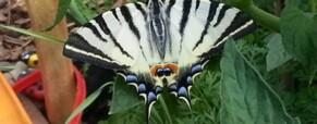 Fecskefarkú lepke az Aranykatica kertben