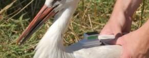Megették a Ménes nevű gólyát.