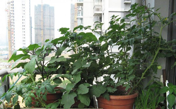 balconytomatoe