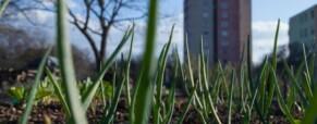 Óbudai Anziksz -Paradicsomot plántálnak az Óbudai Kulturális Központ parkjában